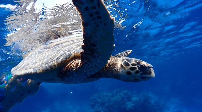 Морская черепаха в бухте Египетского курорта Марса Алам